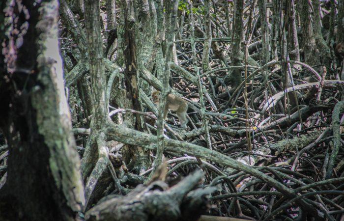 Mangrove, Gaya Island, Kota Kinabalu