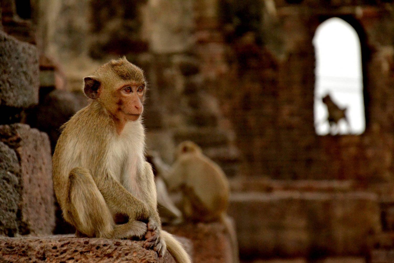 Monkeys, Lopburi