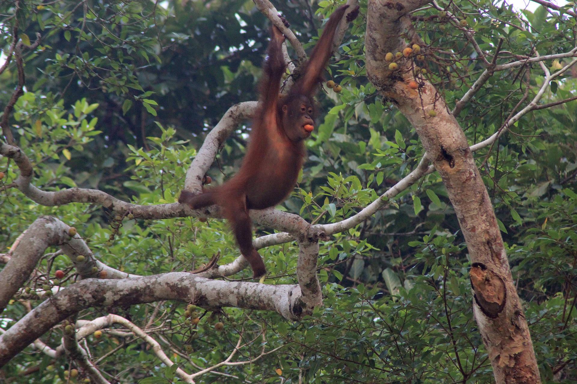 Orangutan Sarawak