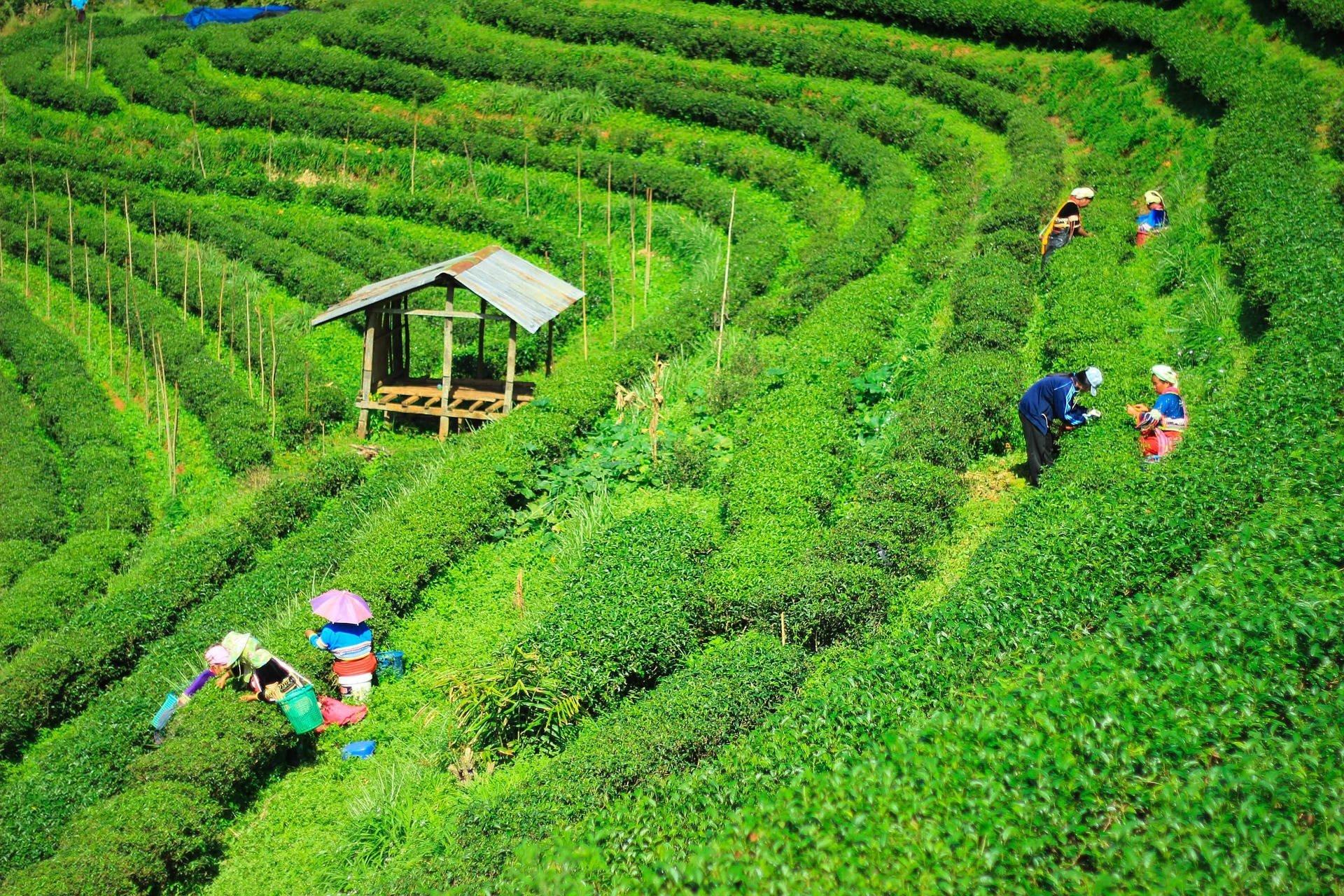 Tea plantation Chiang Mai, Thailand