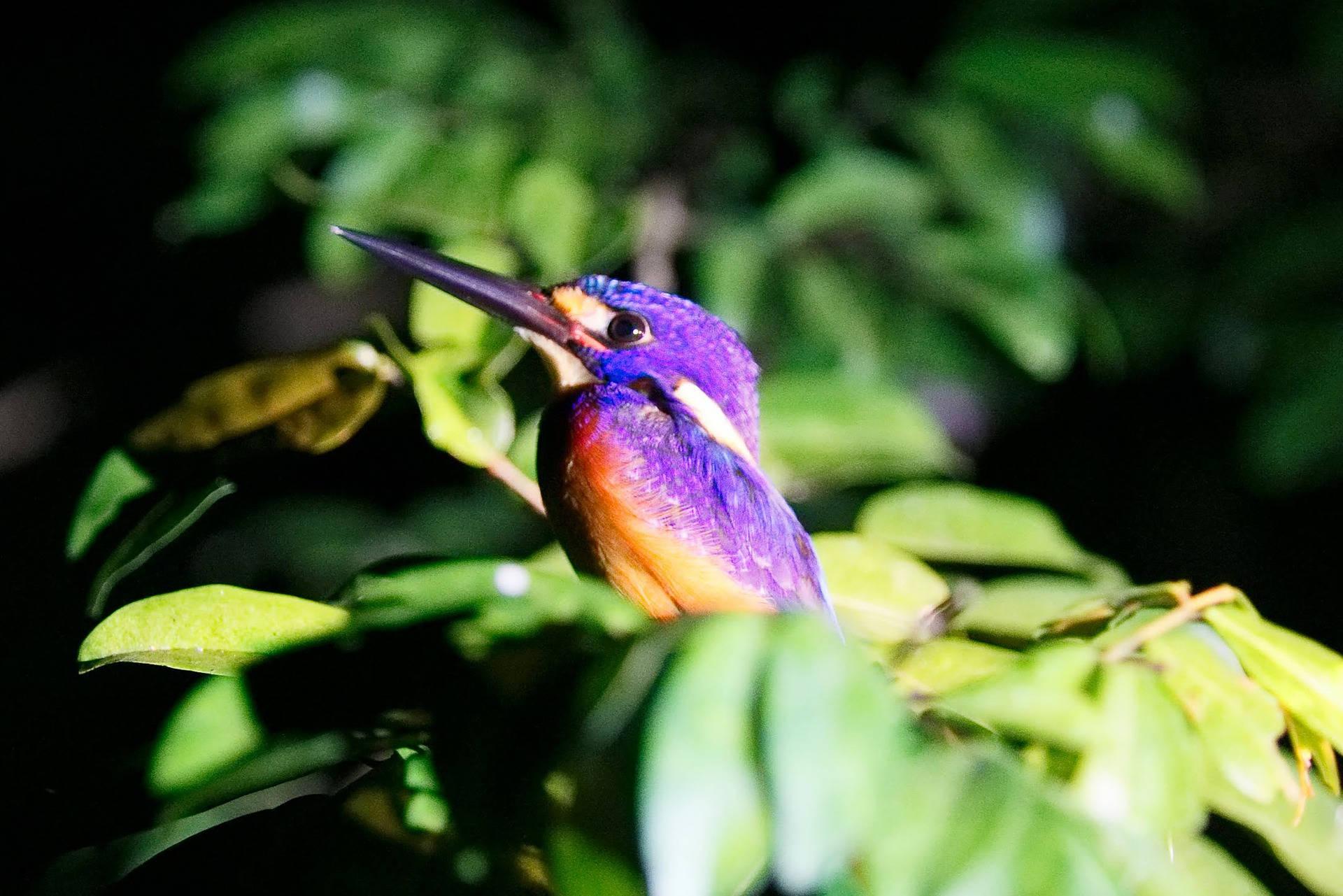 bird purple borneo