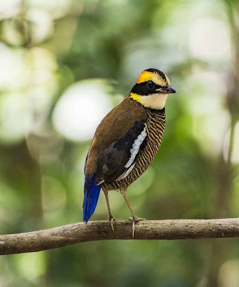 Eight Colour bird Malaysia