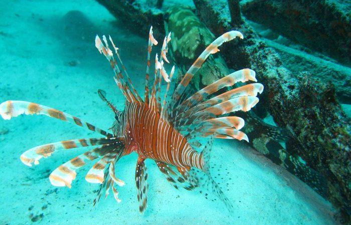 red lionfish, Borneo